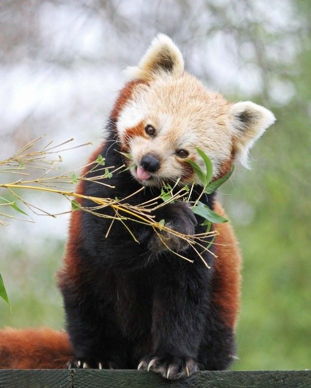 Red panda - Incredible wild life photography