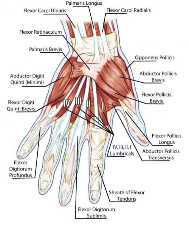 Hand Anatomy Torn Hip Flexor Muscle Anatomy Pinterest Hand