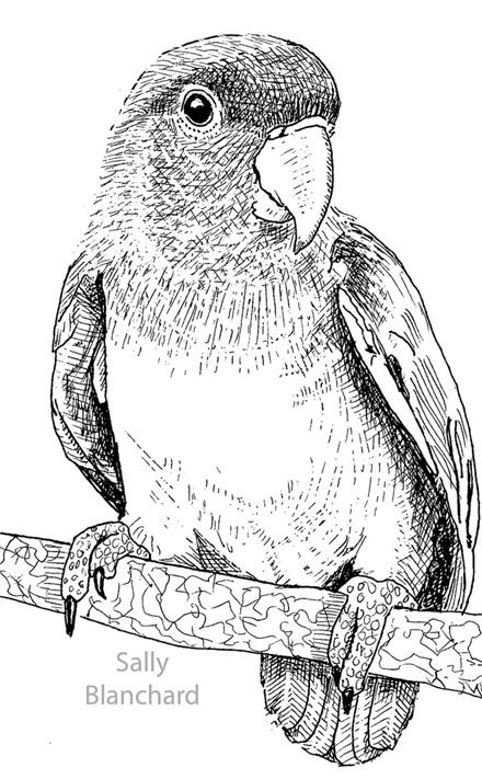 Sally Blanchard Pen Drawing Peach Faced Lovebird With Images