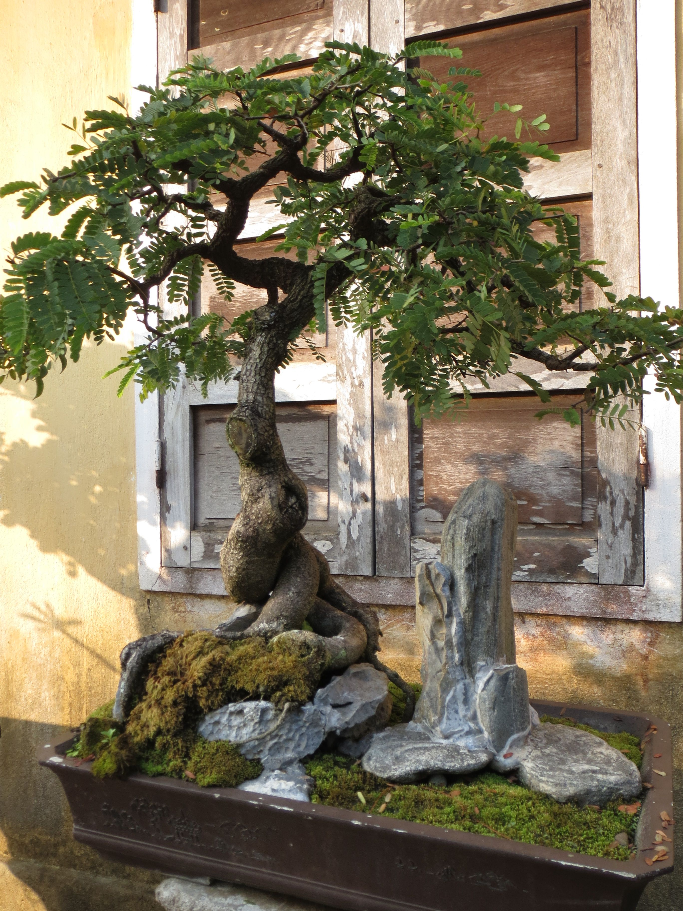 Tamarind c y me chua bonsai pinterest kleine b ume for Bonsai hydrokultur