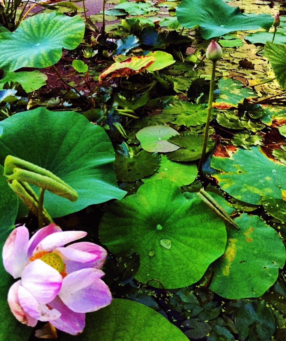 Lotus Flower And Buds My Plants Pinterest Lotus Flower And Plants