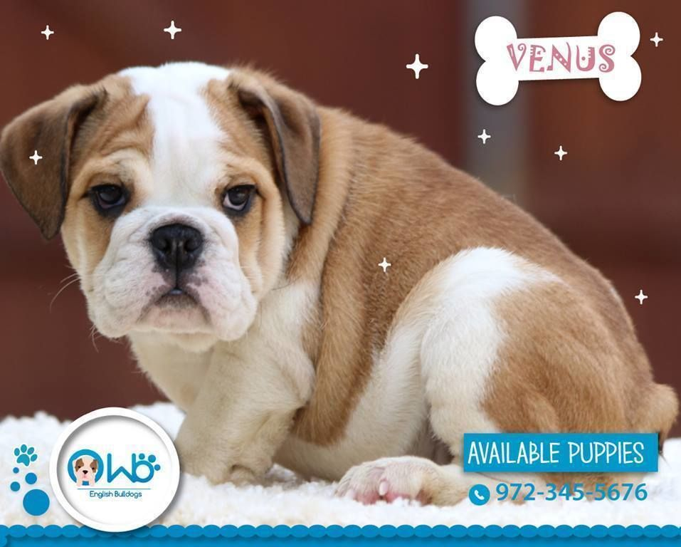 How To Choose English Bulldog Breeder English Bulldog Breeders English Bulldog Puppies English Bulldog