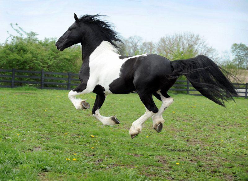 Black and white pinto horse - photo#15