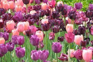 Planter des tulipes : quand, comment, dans quel sol ...