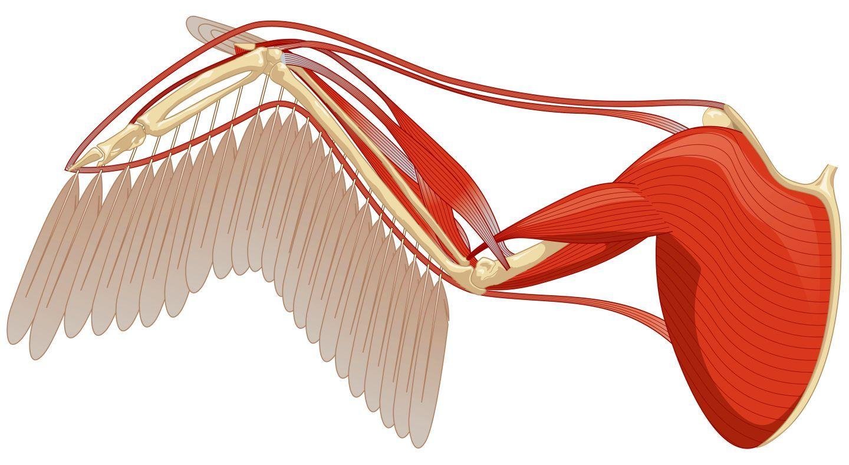 bird wing muscle anatomy <b>bird wings</b> <b>bird wing anatomy</b, Muscles