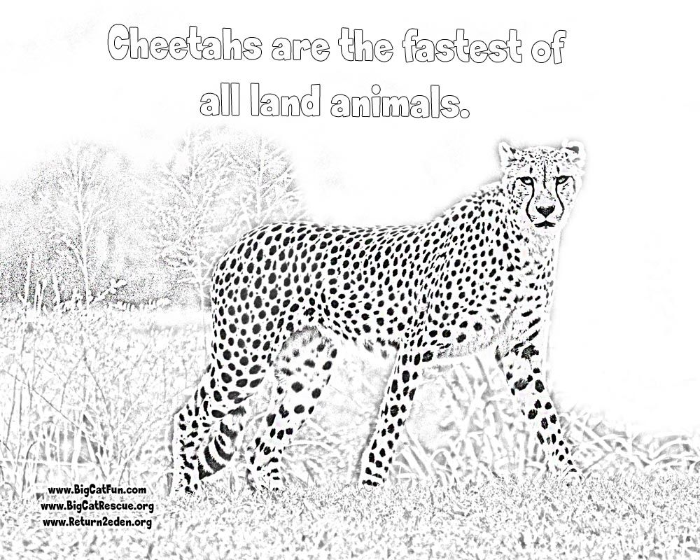 Online Cheetah Coloring Pages LexiLu Pinterest Cheetahs