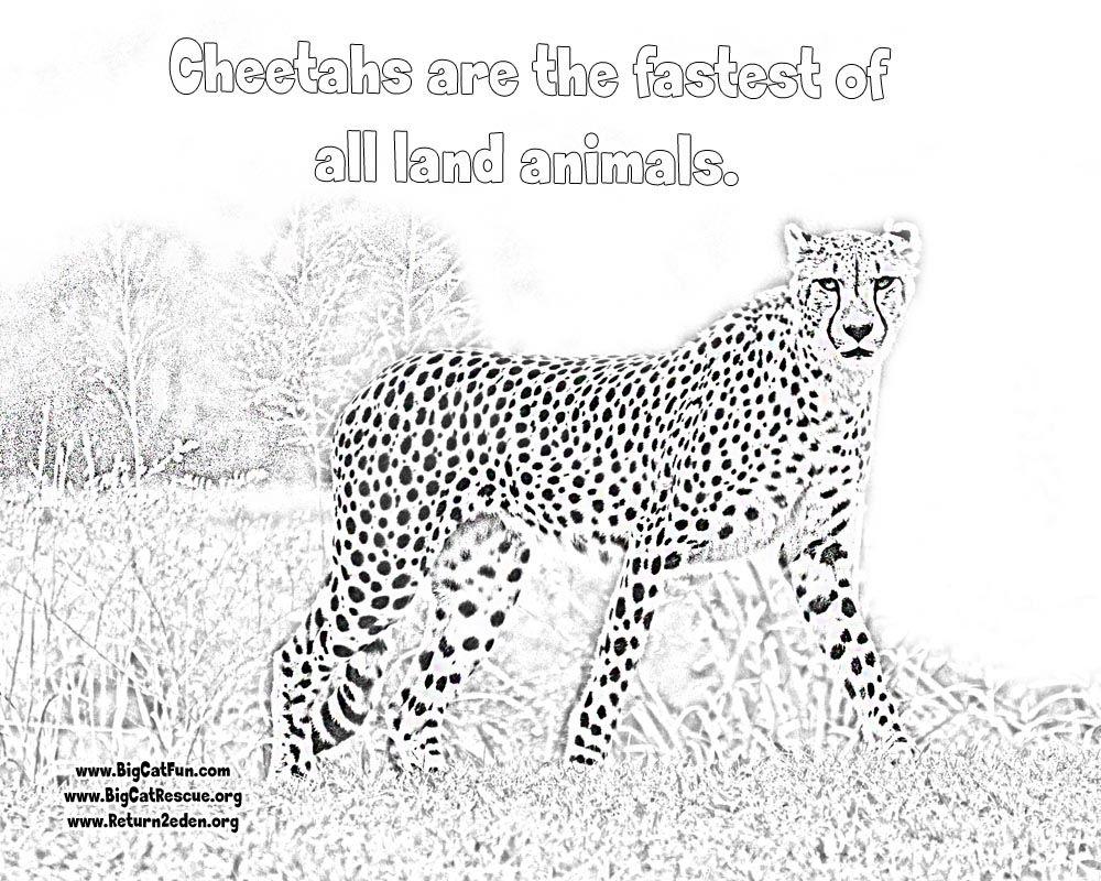 Online cheetah coloring pages shophia quilt pinterest cheetahs