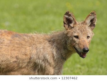 Eastern Coyote Canis latrans  A rare animal in the MidAtlantic states