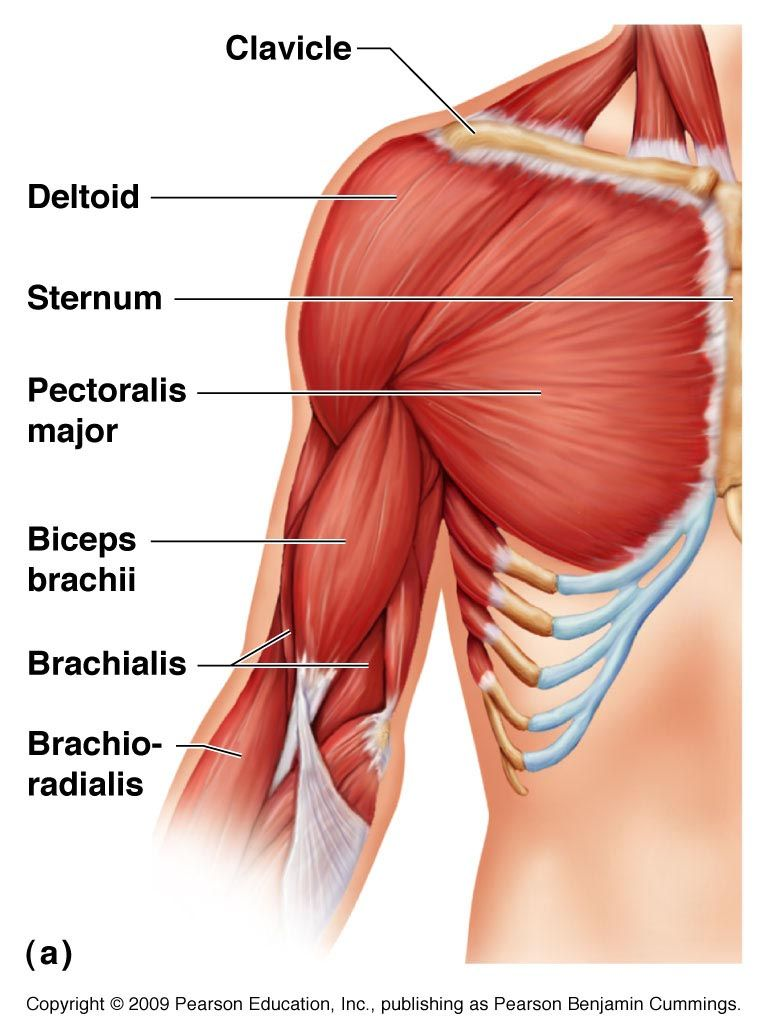 muscular anatomy: learn what muscles you use when you exercise, Muscles