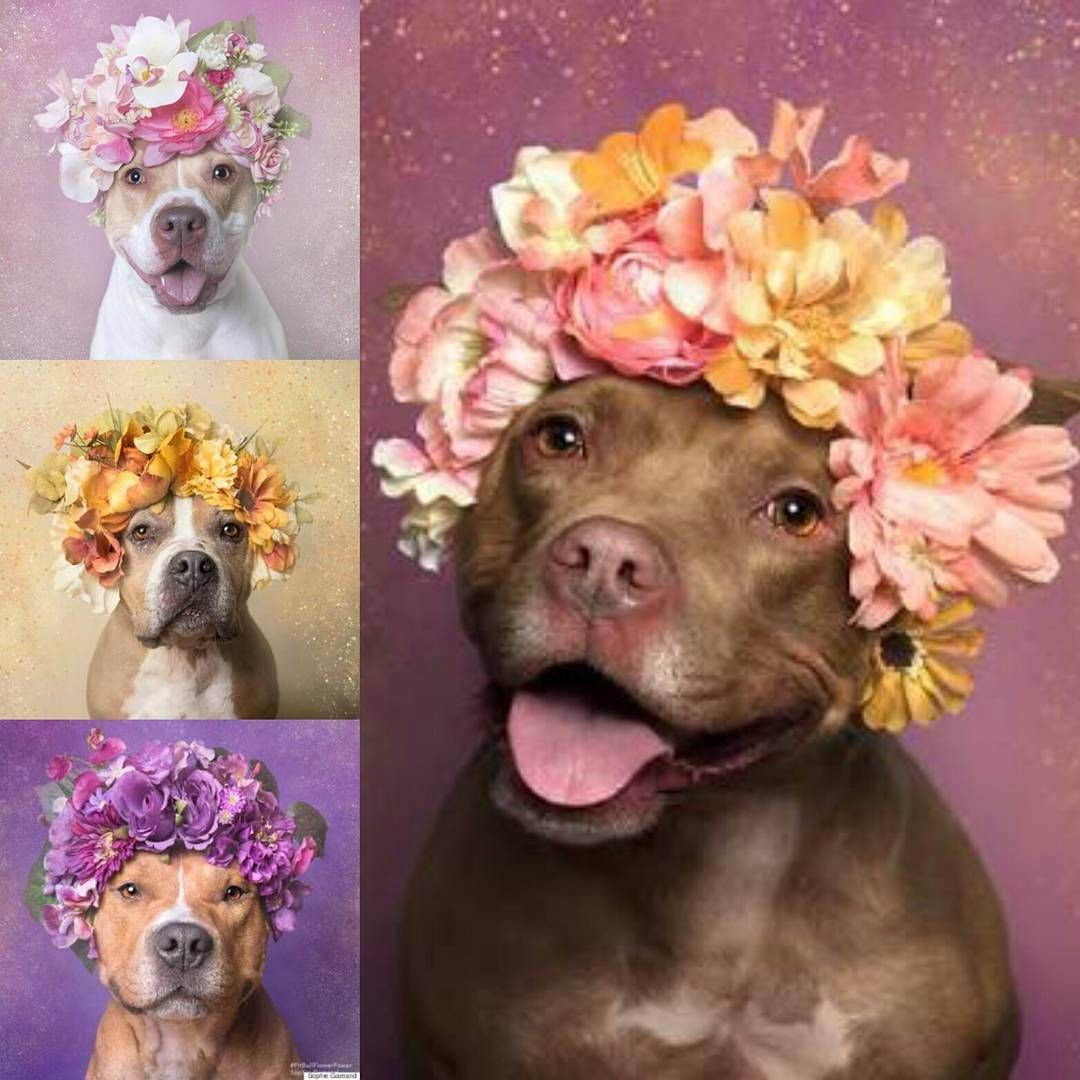 Pitbullflowerpower Photography Sophiegamand