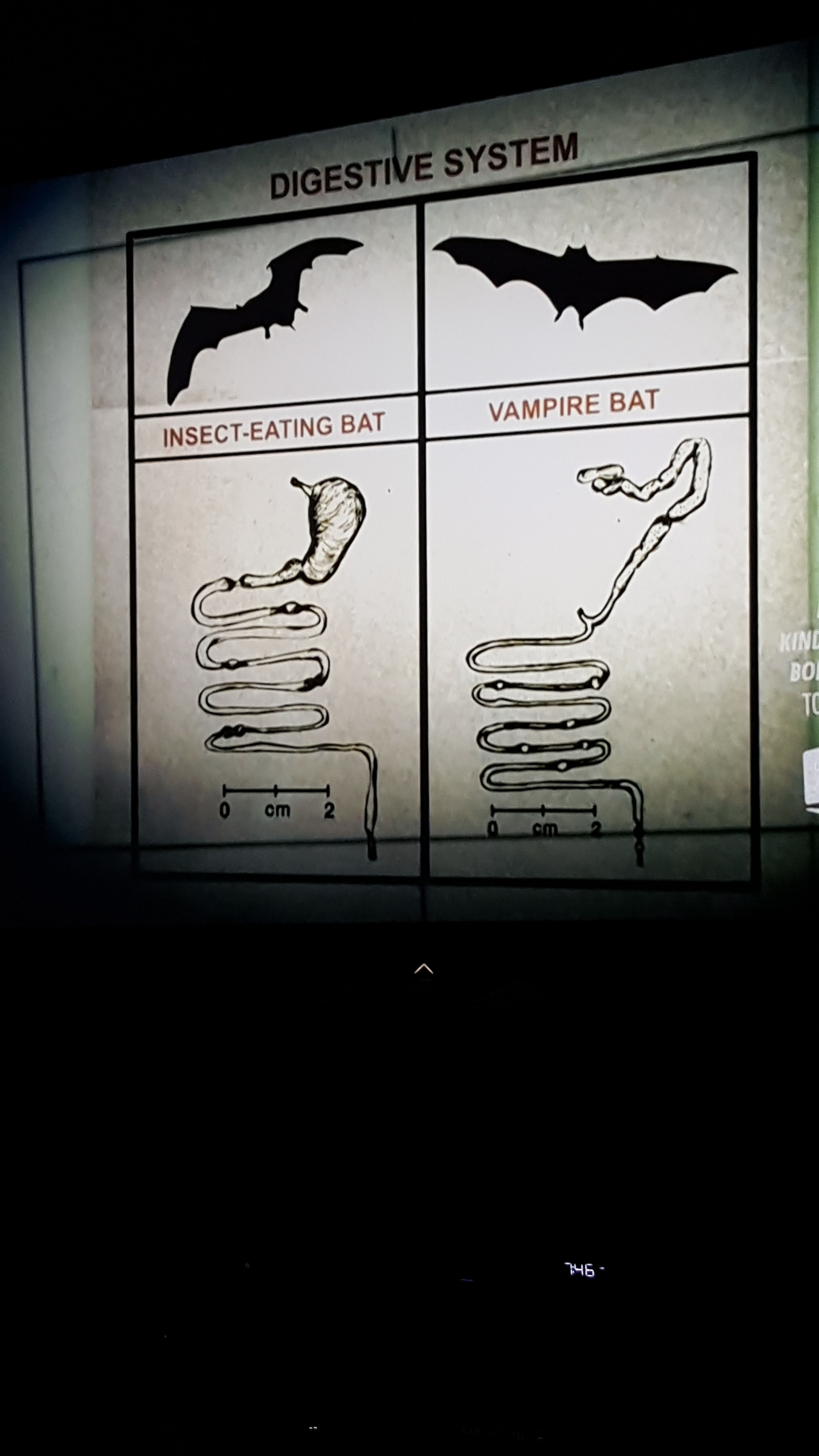 Digestive System Of Insect Eating Bat Vs Vampire Bat