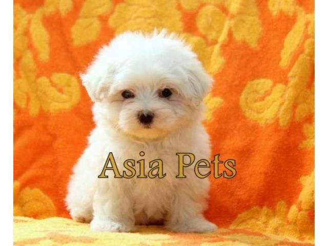 Maltese puppy for sale in delhi Maltese puppy, Maltese