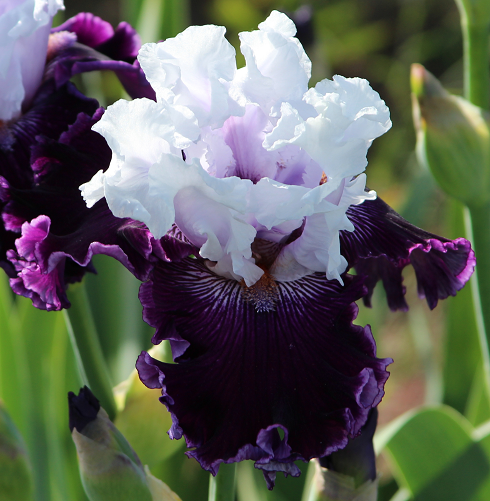 World Of Irises Tall Bearded Iris Hybridizer Randy Brown And A Visit To His Phenomenal Garden Projekte