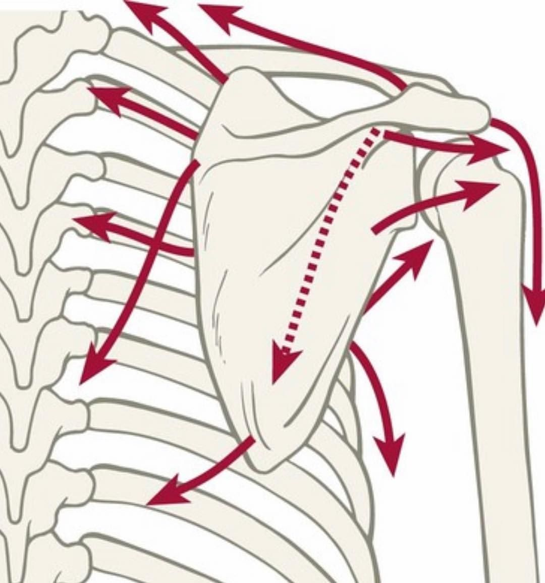Today, 👨🏻‍🏫@vinnierehab teaches...SCAPULA! . 17 muscles ...