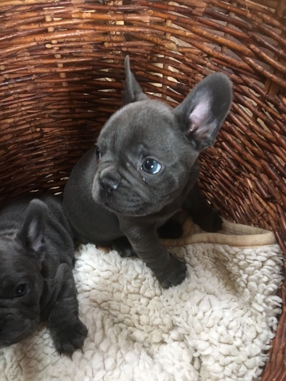 French Bulldog Puppies For Sale Cottonwood, CA in 2020
