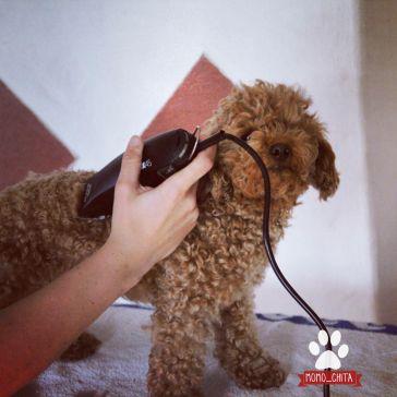 Teddyschnitt Pudelschur Pudel Pudel Welpen Und Alles Fur Den Hund