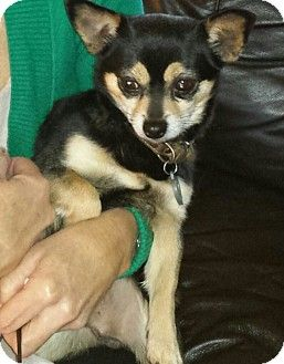 Indianapolis In Chihuahua Meet Sparks A Dog For Adoption