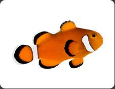 Ora Extreme Misbar Ocellaris A Ocellaris Saltwater Fish Tanks Clown Fish Mandarin Fish