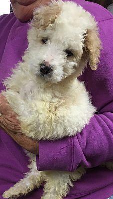 Poodle Miniature Mix Puppy For Adoption In Powder Springs