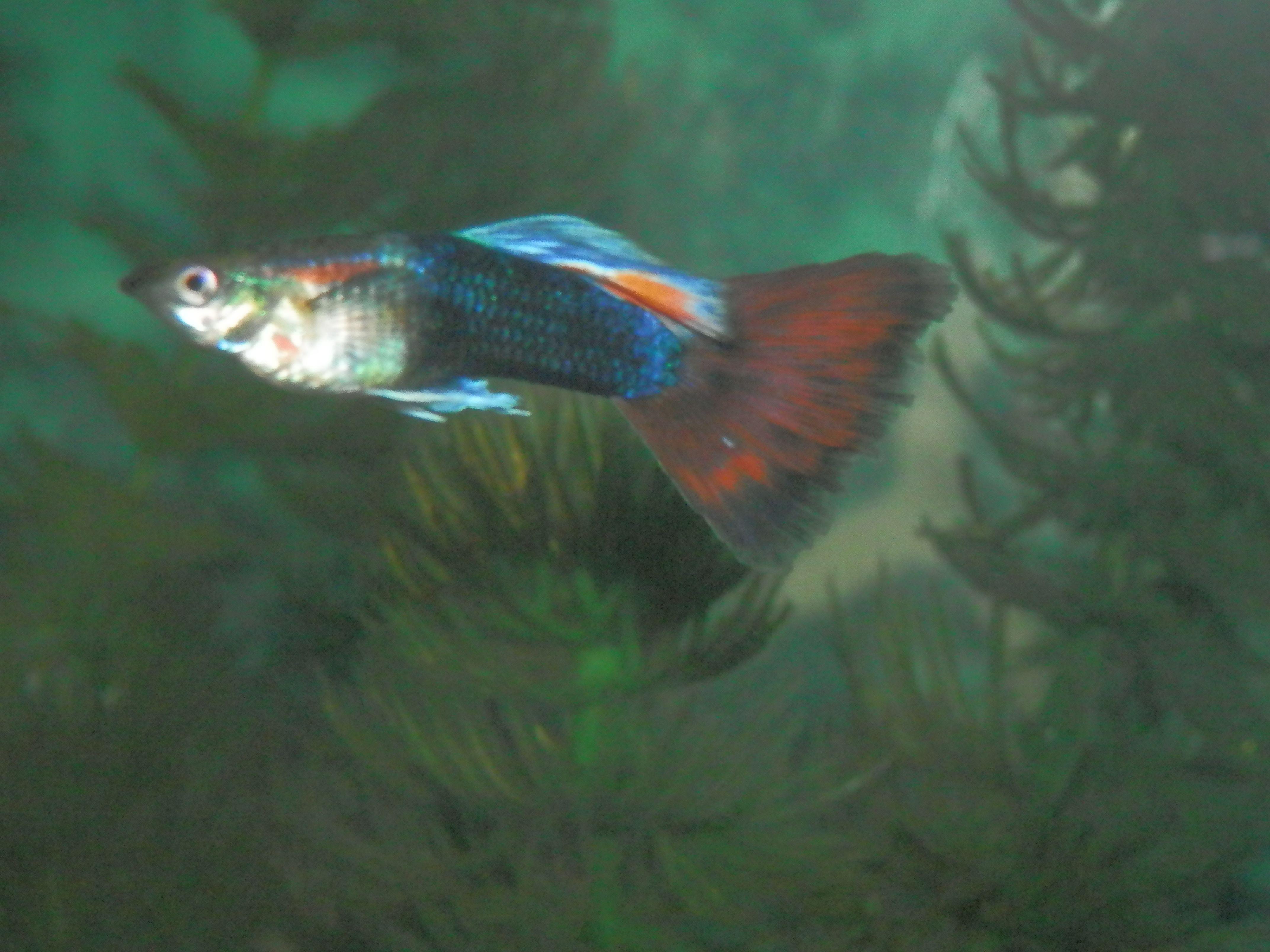 Male Guppy My Fish Hobby Pinterest