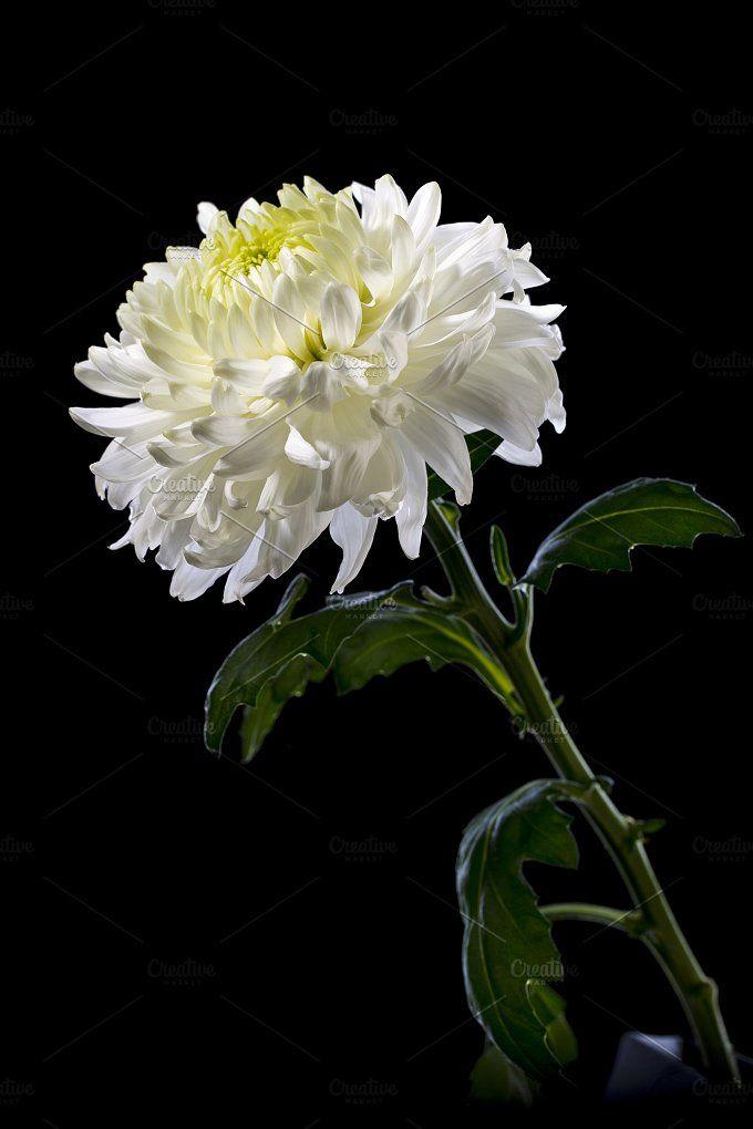 White Chrysanthemum On A Black Background White Chrysanthemum Chrysanthemum Crysanthemum Flower