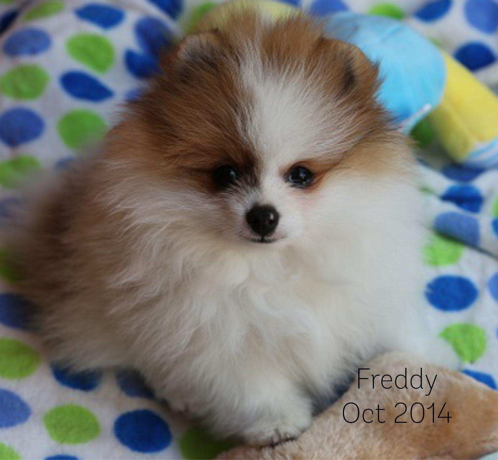 Freddy the pomeranian puppy loves spots pomeranian pinterest freddy the pomeranian puppy loves spots nvjuhfo Image collections