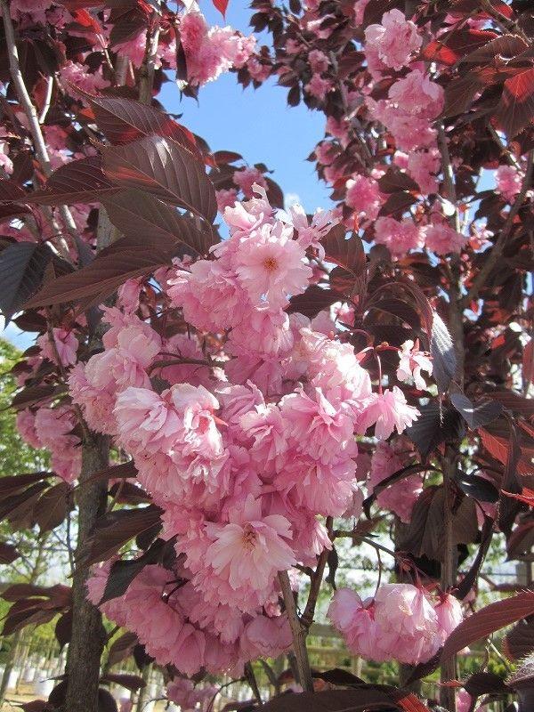 Purple Leaved Cherry Royal Burgundy Japanese Cherry Royal Burgundy Barcham Trees Japanese Cherry Tree Buy Trees Online Buy Trees