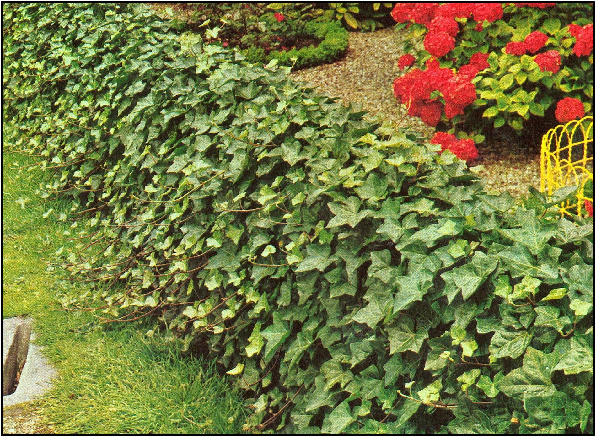 Baltic Ivy 15m A Hardier Variety Of English Ivy That Can
