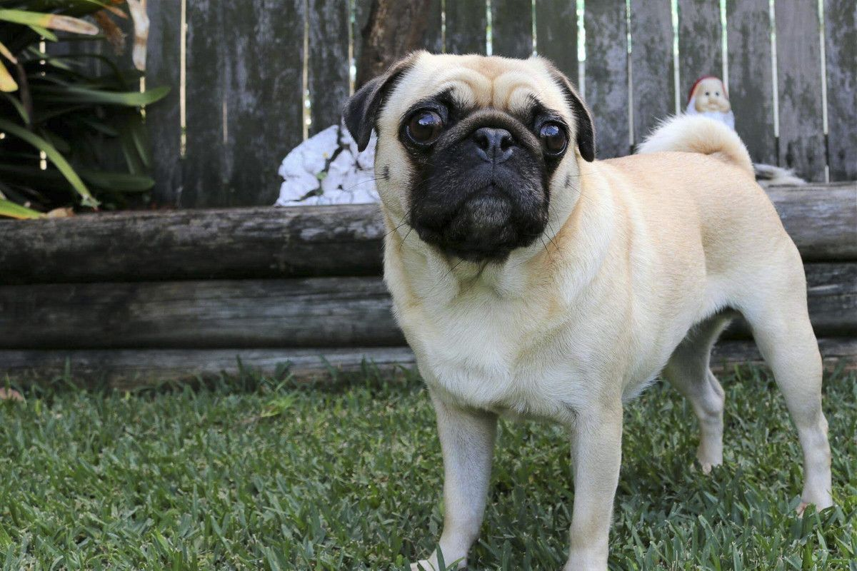 Pin By Luisa Sauter On Give A Dog A Bone Pug Weight Pugs Dogs