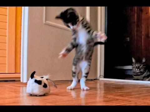 A Kitten, a Cat and a Robotic Dog game on! Crazy cats