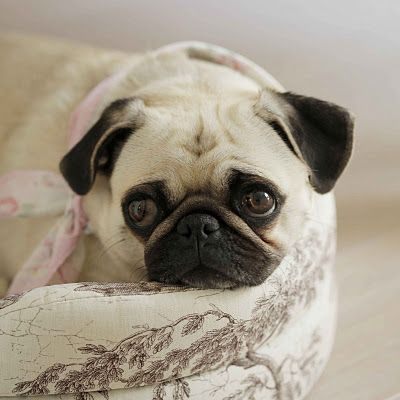 This One S For My Daughter Cute Pugs Cool Pets Cute Pug Pictures