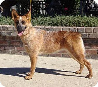 Lathrop, CA Australian Cattle Dog Mix. Meet Jessie, a