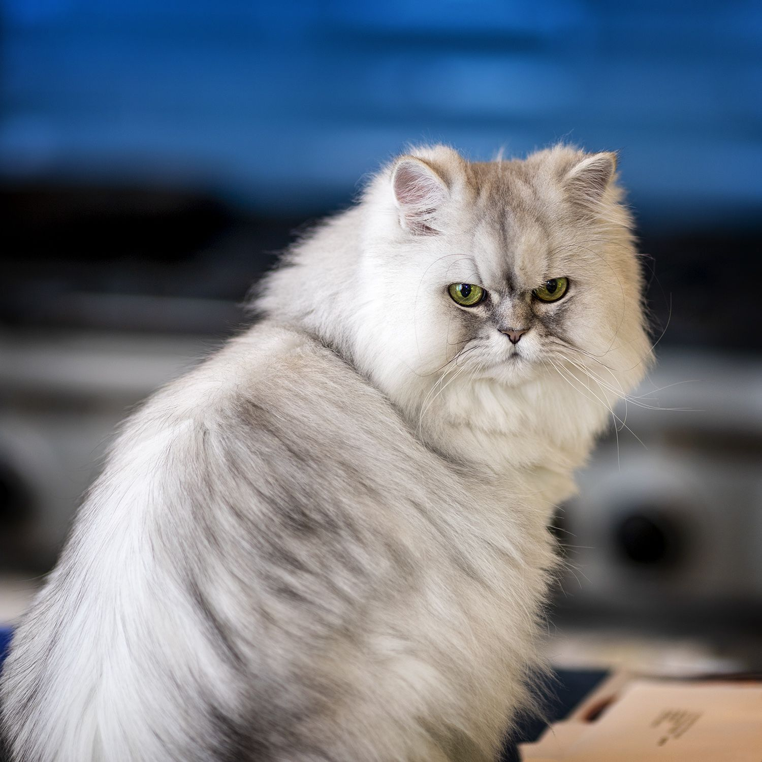 I Haven T Posted Any Photos Of Bisou Lately For The Uninitiated This Is Bisou My Cat She Is A Silver Shaded Do Persian Cat Persian Cat Doll Face Cats