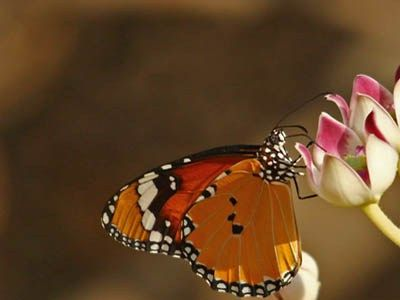 Butterfly Wallpaper Free Nature Images Indian Stock Images