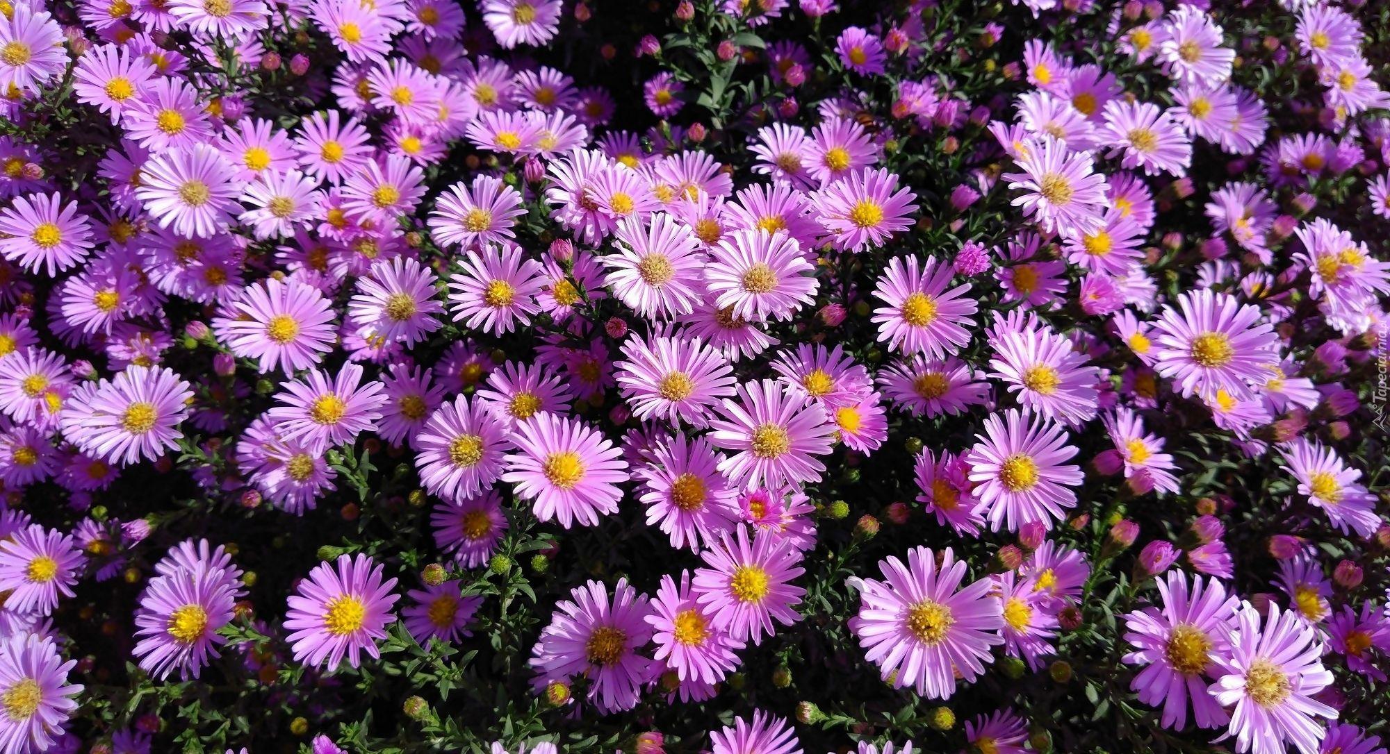Kwiaty Jesienne Astry Plants