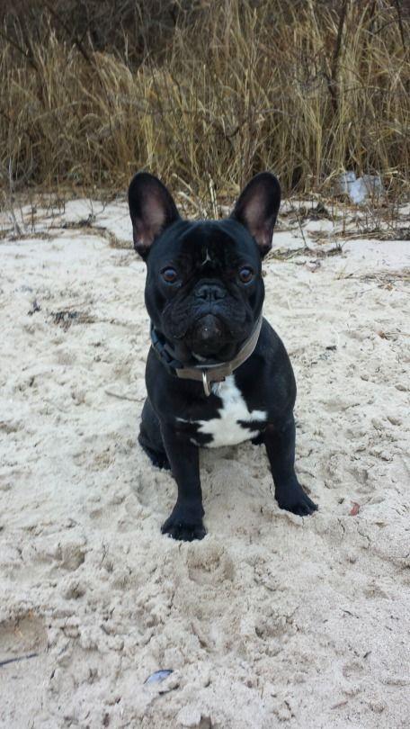 The Dailyfrenchie French Bulldog Puppies Cute French Bulldog