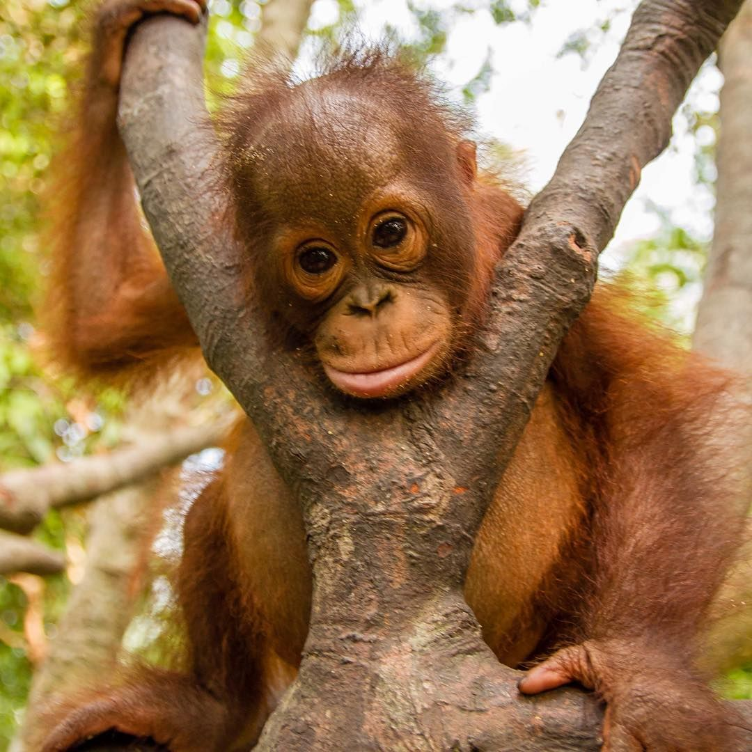 """International Animal Rescue on Instagram: """"Hello to all our new followers! Thank you for following and supporting our work to rescue and rehabilitate the orangutans of Borneo! We…"""" #animalrescue"""
