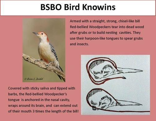 woodpecker tongue google search woodpeckers
