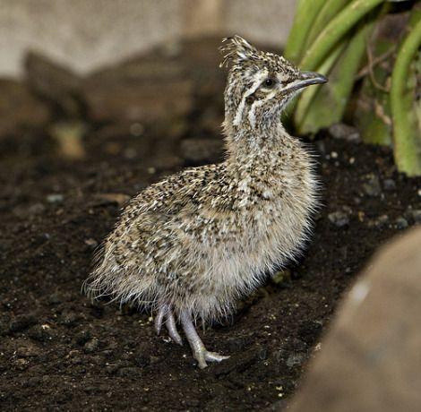 Elegant Crested Tinamou Chick