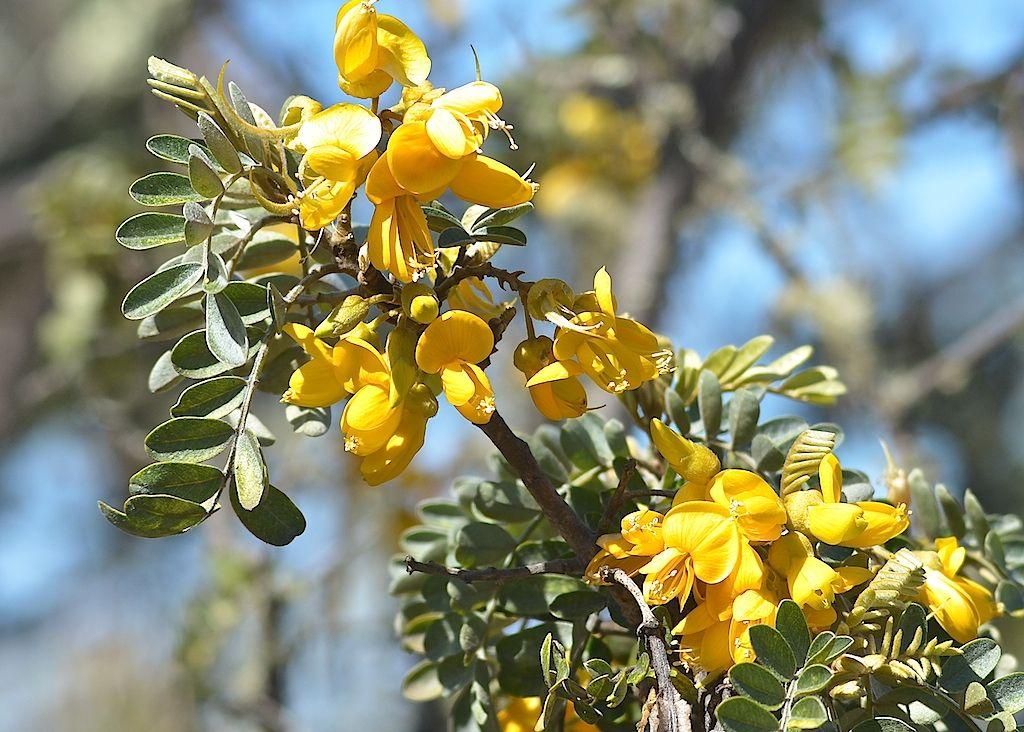 Mamane 1024 732 Plants Tree Species