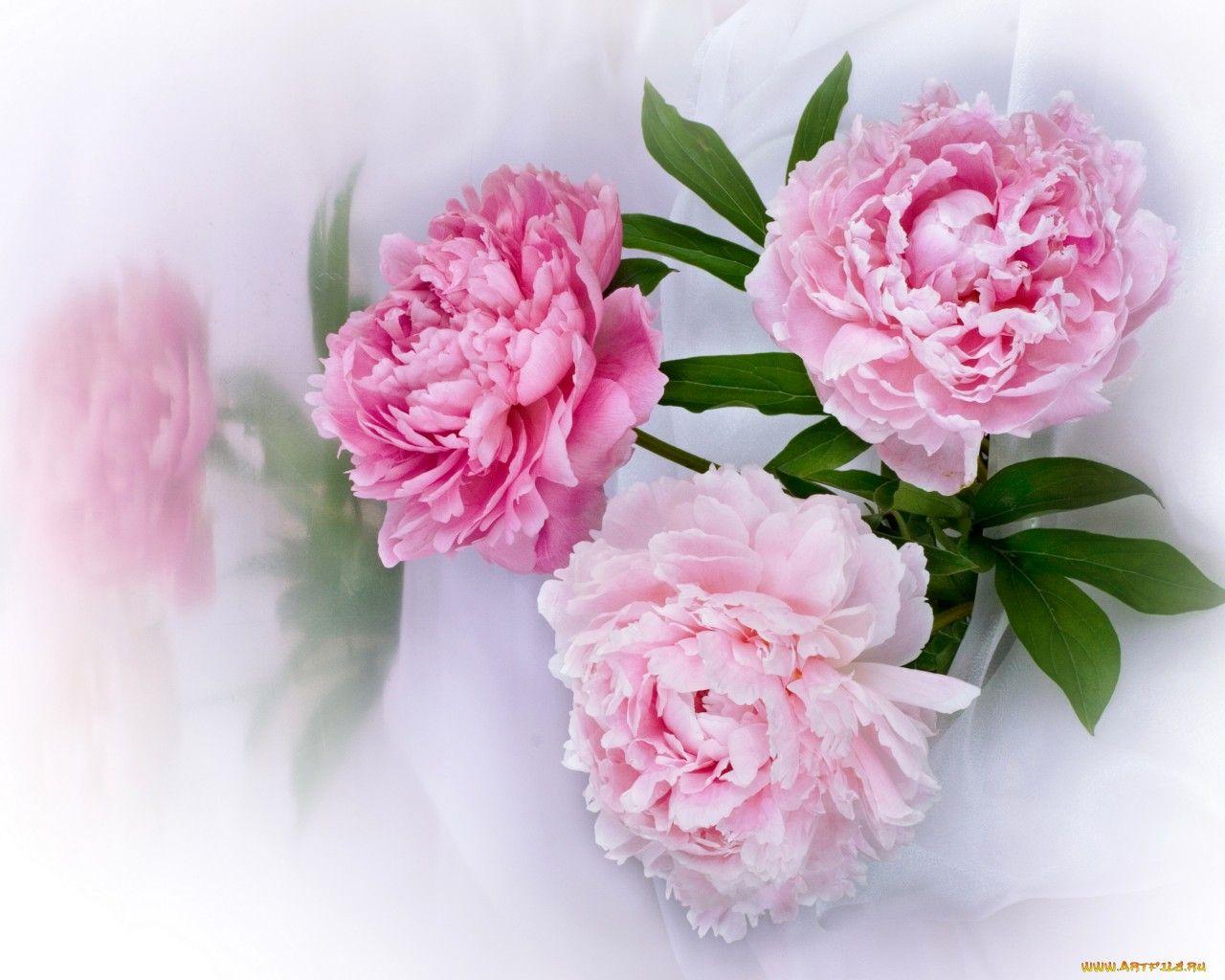 Обои Цветы Пионы, обои для рабочего стола, фотографии ...