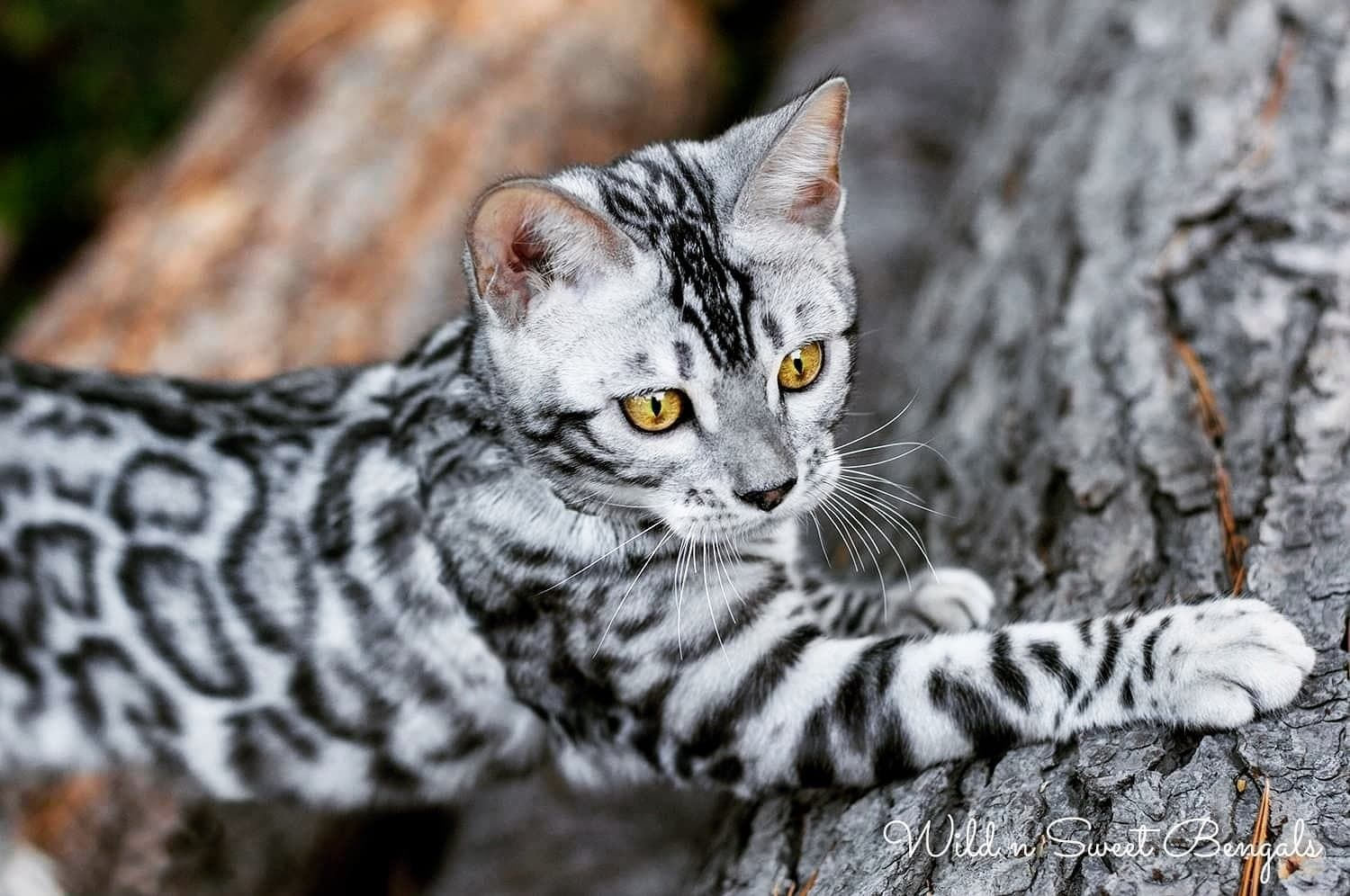 Bengal Kittens Cats For Sale Near Me Wild Sweet Bengals In 2020 Bengal Kitten Bengal Cat Silver Bengal Cat