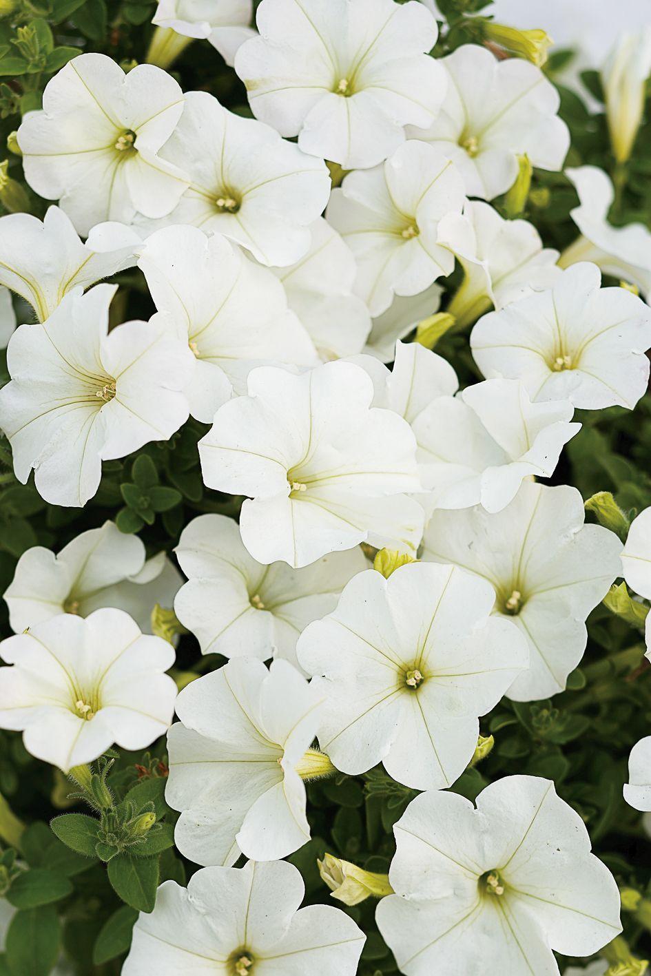 Supertunia Mini White is a beautiful trailing Petunia