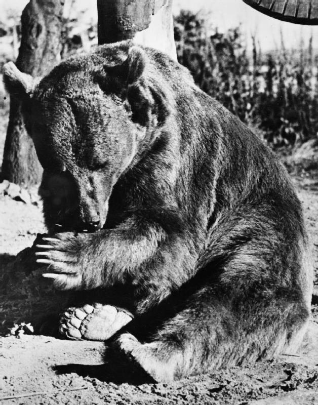 Wojtek enjoying Winfield Camp in 1945.