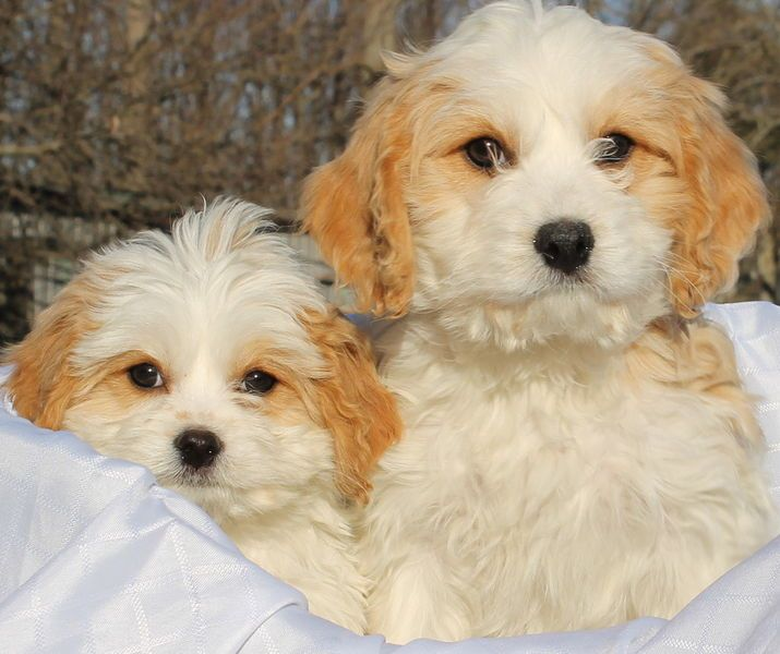 Kijiji Cavachon Puppies Cavachon Puppies Cavachon Puppies