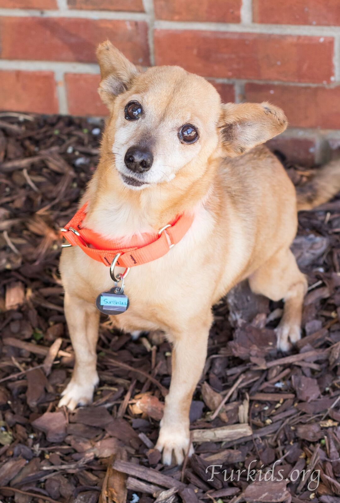 Chiweenie Dog For Adoption In Alpharetta Ga Adn 718915 On