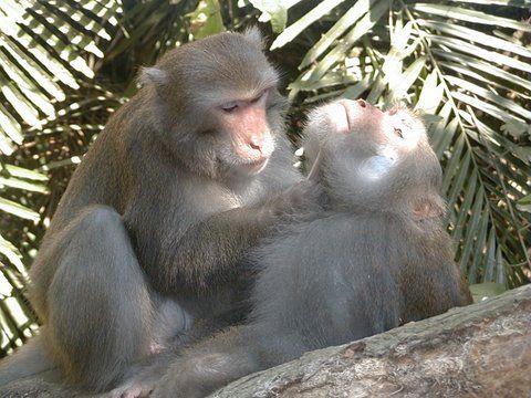 MACACO - Macaco de Formosa- MalegroomingPhotoMinnaJHsu