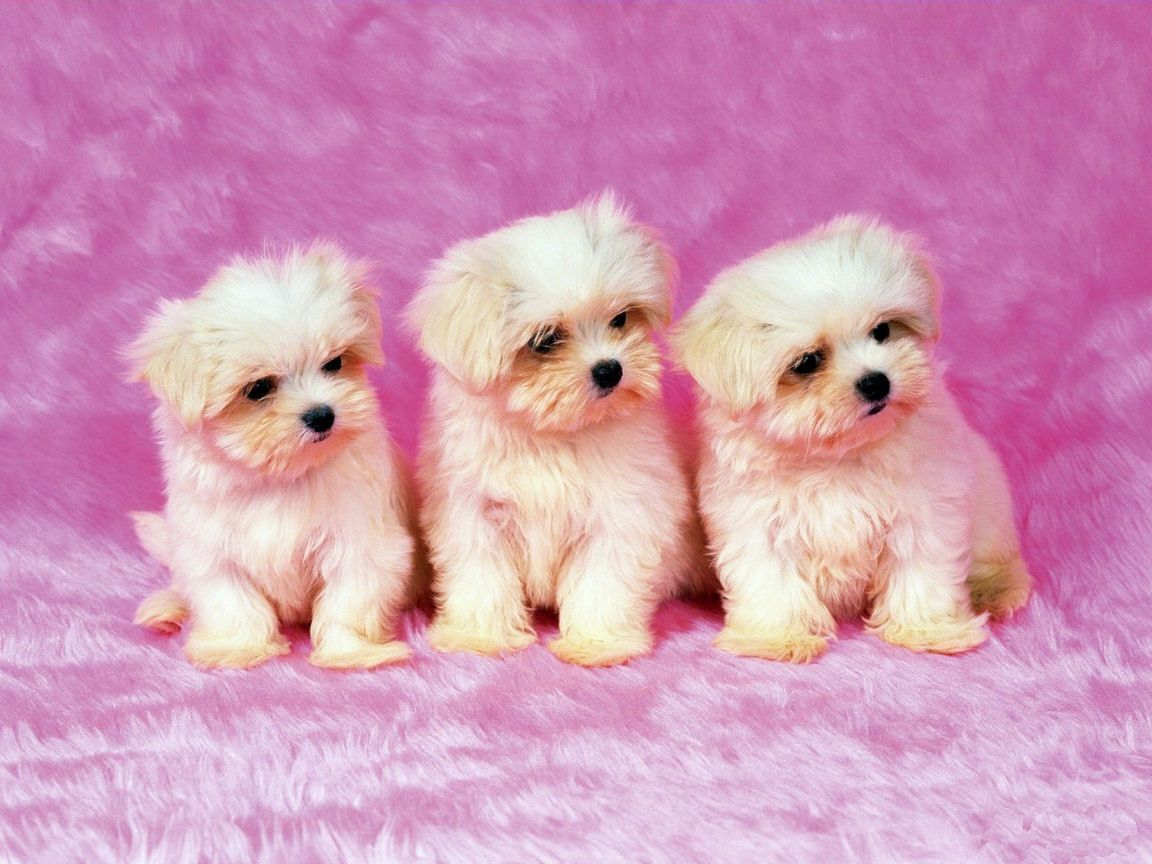 Puppies cute shih tzu puppies wallpaper for your computer desktop
