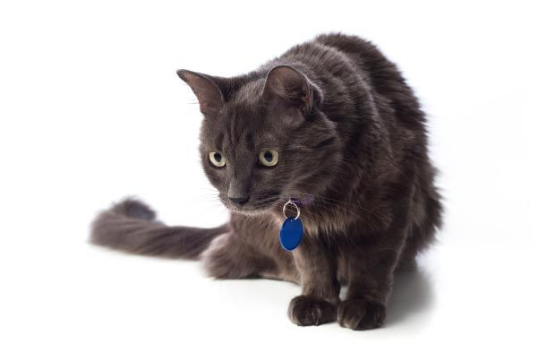 Nebelung Cat Breed History Information And Pictures Pet360