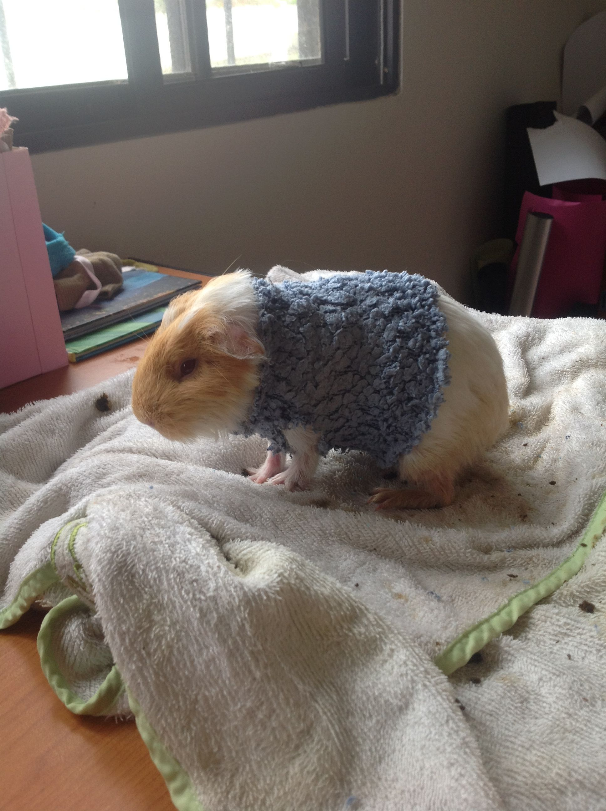 Pin On Guinea Pig World